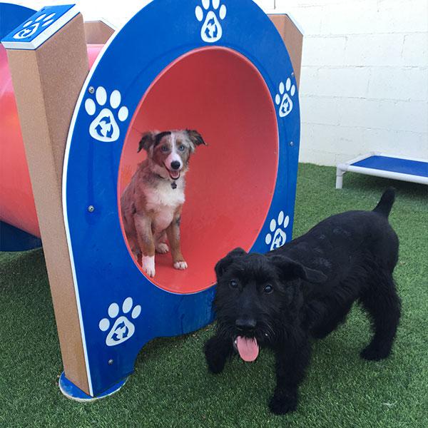 Puppy Socializing Schnauzer and Aussie